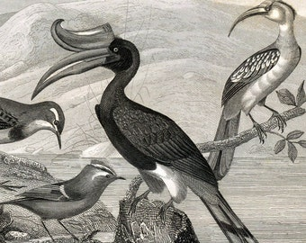 1851 Antique Print of Hornbills, Kingfishers, Nightingale, and Other Birds. Plate 103