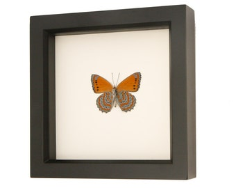 Real Framed Butterfly Display Meadow Wanderer Sallya Crenis pechuelli