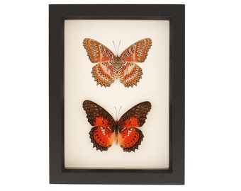 Insect Collection Leopard Lacewing Butterfly Set F1541