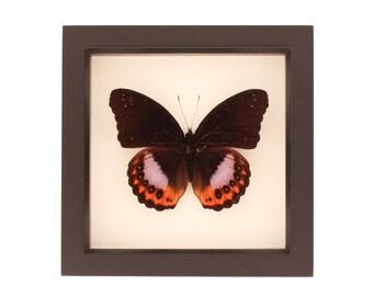 Preserved Butterfly Display Hypolimnas pandarus Species Eggfly