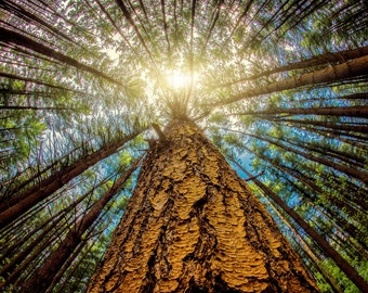 """Forest Trees, Large Tree Art, Fall Landscape Photography, Nature Art Print, Tree Photography,Blue Sky, """"Looking Up"""""""