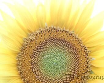 Sunflower - Macro - Flower - Nature - Yellow - Kansas -  Kansas State Flower  -  Fine Art Photography