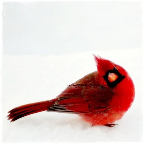Yes Dear - Ruby red and snow white Cardinal red and snow white Winter decoration Christmas Valentine colors Cardinal In Snow Fine Art Print