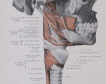 1903 Human Anatomy Book Page Print-Muscles of the Pharynx/Muscles of the Pharynx from Behind