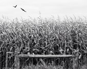 corn field photo, harvest photo, black white landscape, farm photo, flying birds, landscape, thanksgiving, harvest, autumn, canada, Ontario