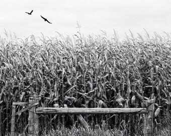 corn field photo, harvest photo, black white landscape, farm photo, flying birds, landscape, thanksgiving, harvest, autumn, canada, Ontario
