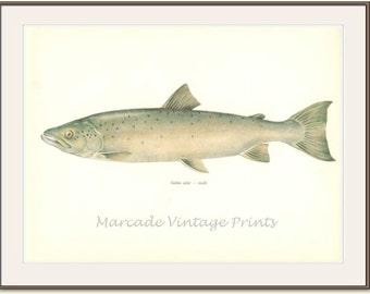 Vintage Fish Print, 1970 (21) Salmon, Male, Royal Fish, Salt, Fresh Water, Jiri Maly, Ichthyology,