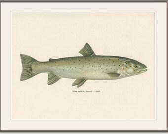 Vintage Fish Print, 1970 (35) Lake Trout, Salmon Trout, Salt Fresh Water, Jiri Maly, Ichthyology, Natural History Kitchen Art, Cottage Decor