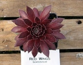 Red Wings Sempervivum Plant, Hens and Chicks, Extremely Cold Hardy Succulent