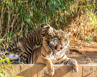 Nature Art, Tiger Play, Fine Art Photography, Nature Photography, Animal Art, Nursery Decor Nursery Art