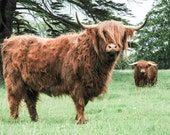 Highland Cattle 16 - Fine Art Photography - Cow - Nature Photography