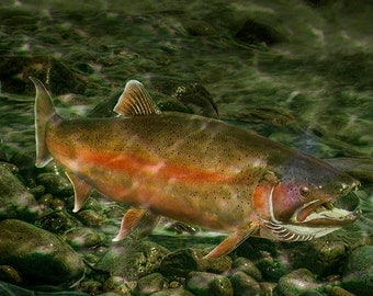 Steelhead Trout Migrating on a Rocky Stream Bed during Fall Spawning Season No.00617 A Fine Art Fish Nature Photograph