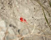 Snowy Day Cardinal - nature photography red bird winter landscape - birdwatching bird art rustic decor