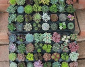 """40 AMAZING UNIQUE Assorted Succulents in their 2.5"""" round  containers Ideal for Wedding FAVORS party gifts Echeverias+"""