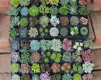 """25 AMAZING UNIQUE Assorted Succulents in their 2.5"""" round  containers Ideal for Wedding FAVORS party gifts Echeverias+"""