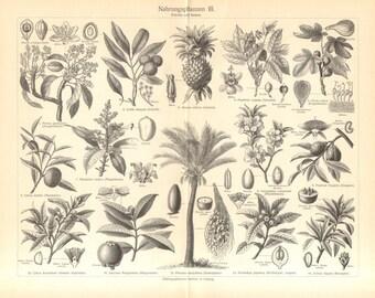 1905 Antique Engraving of Domesticated Plants, Avocado, Lychee, Pineapple, Fig, Tangor, Mango, Almond, Bitter Orange, Date Palm, Loquat