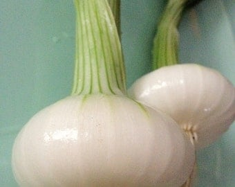 Cipollini Onion Grown to Organic Standards Excellent Mild Flavor Rare Seeds