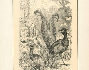 "Digital Download ""Lyre Bird"" Illustration (c.1900s) - Instant Download Printable of Birds Illustrated Bird Book Page"