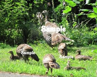 Digital Download-Photo by Lolly-New England Wild Turkeys