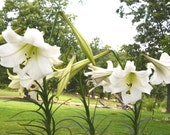 Lily Seeds Formosa Lily Seeds Heirloom Lily 50+  Organic Flower Seeds Lilium formosanum Fresh From This Year's Crop