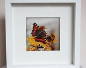 Butterfly box-framed photographic art - photography - framed print - Monarch Butterfly, Down, Ireland -  10x10 inches, 5x5 inches