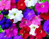 Heirloom Petunia Balcony Mix, Excellent in Pots, Garden Flower, 25 Seeds