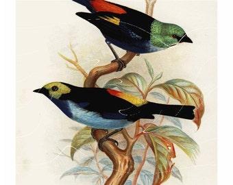 Original Antique Botanical  Bird Print Pair of  Superb Tanager and Paradise Tanager