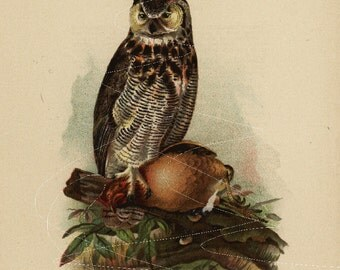 Antique Original  Natural History Colored Bird Print-  Great Horned Owl