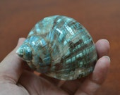 "green mother of PEARL JADE TURBO sea shell hermit crab 2"" - 2 1/2"" 7064"