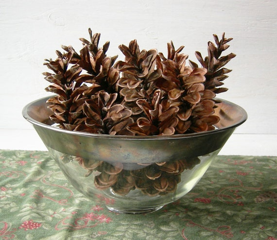 Items similar to 15 eastern white pine cones 5 8 long for Long pine cones