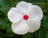 50 - Vinca or Periwinkle Seeds - Bright Eyes - Heirloom Vinca Seed, Non-gmo Vinca Seed, Heirloom Periwinkle Seed, White Vincas, Annual Seeds