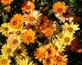 75 - Daisy Seeds - African Daisy - Heirloom Daisy Seeds, Non-GMO Daisy Seeds, Heirloom Wildflower Seed, Non-gmo Wildflower, Heirloom Daisies