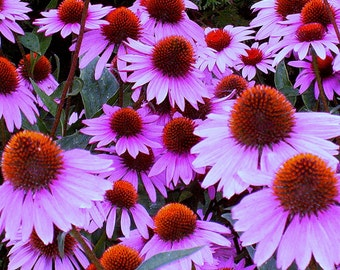 75 - Daisy Seeds - Purple Coneflower - Heirloom Daisy Seeds, Heirloom Flower Seeds, Perennial Flower, Heirloom Coneflowers, Non-gmo Flowers