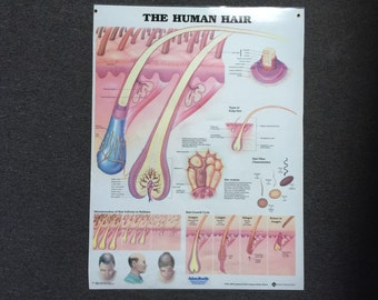 Large the human hair poster 67cms by 50cms