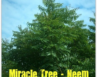 Neem Plant seeds ,Azadirachta indica,fast-growing,can survive drought , grow well in poor soil. the leaves, fruits ,seeds are edible.