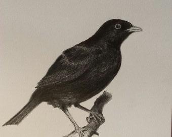 Blackbird (Turdus Merula) - Pencil drawing