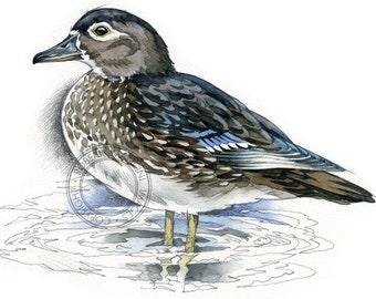 American Wood Duck (female) - bird art, wildlife art - nature print of original artwork