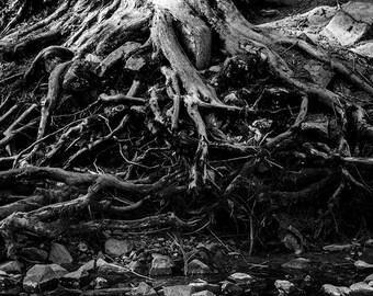 Black and White Photo of Gnarled Tree Roots, Tree Photo, Nature Photography, Tree Wall Art, Tree Decor, Fine Art Photography, 4x6-24x36