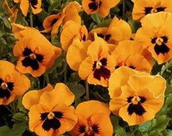 Pansy Seeds- various varieties- 50 Seeds