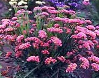 Statice seeds - Rose- 50 Seeds