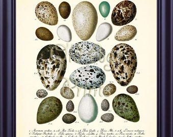 Antique Bird Nest EGGS Egg Print 8x10 Vintage Botanical Art Print Plate 7 Natural History Illustration Home Room Wall Art Decoration BN0402