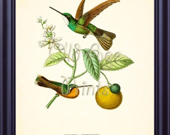 French HUMMINGBIRD Print Vintage Antique Botanical Plate 1 Yellow Orange Citrus Fruit Colorful Green Bird 8x10 Art Print Wall Decor BN0501