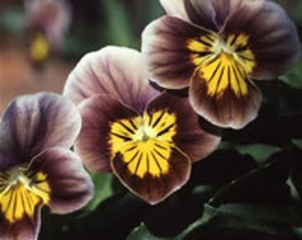 Viola Velour Frosted Chocolate * YUMMY!! 20 SEEDS