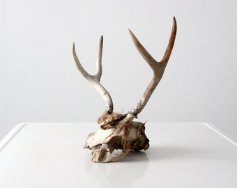vintage skull, found deer skull with antlers