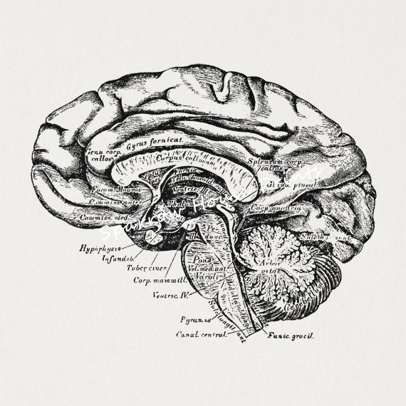 antique brain cross section medical diagram anatomy
