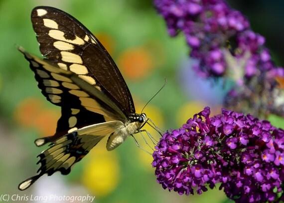 Giant Swallowtail On Butterfly Bush