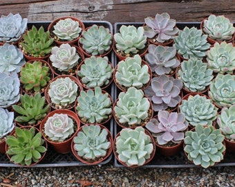 """10 Gorgeous Rosette ONLY Succulents in their 4"""" plastic containers wedding shower FAVORS party gifts plants"""