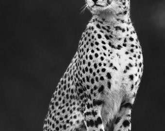 Ready To Go, Print Of A Cheetah Close Up. African Fine Art And Photography Picture. Black And White Print, Framed / Unframed
