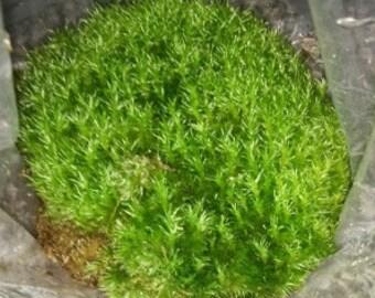 Cushion Moss