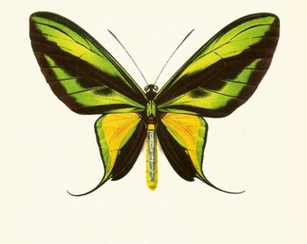 VINTAGE BUTTERFLY PRINT Tailed Birdwing 1960's Vintage Print - Perfect Gift for Wedding, Birthday, Graduation, Christmas (bb18)